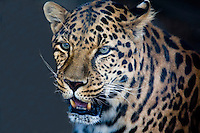 PERSIAN LEOPARD AT EXOTIC FELINE RESCUE CENTER IN ROSAMOND, CALIFORNIA