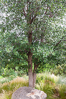 Quercus gambelli, Gambel Oak tree in New Mexico drought tolerant meadow garden
