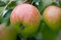 Apple 'Falstaff', early September.
