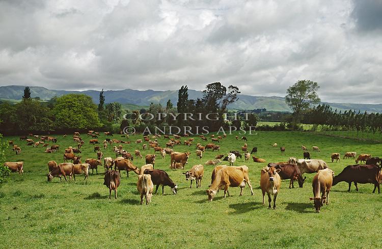 Dairy cows in the Tararua district of the Manawatu/Whanganui Region. New Zealand.