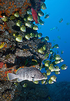 RM1259-D. Leather Bass (Dermatolepis dermatolepis), large fish at bottom, pauses at cleaning station serviced by dozens of Barberfish (Johnrandallia nigrirostris). Baja, Mexico, Pacific Ocean.<br /> Photo Copyright &copy; Brandon Cole. All rights reserved worldwide.  www.brandoncole.com
