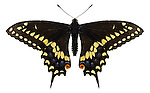 Black swallowtail butterfly female Papilio polyxenes asterias