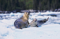Harbor seal pup and mother on glacial iceberg, Meares Inlet, Prince William Sound, Alaska