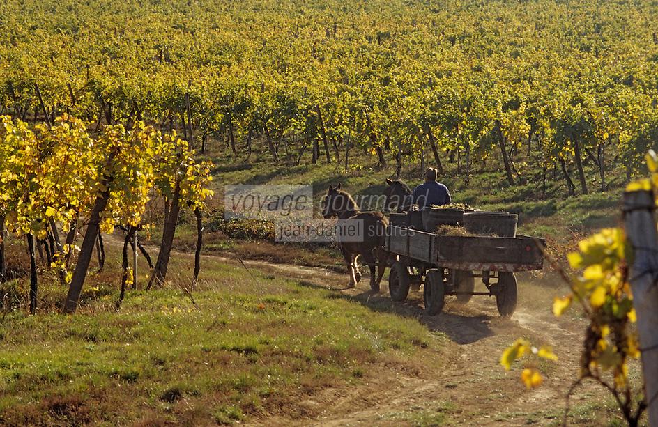 Europe/Hongrie/Tokay/Env Sarospatak: Les vignes du château Megyer - Vendanges à l'ancienne