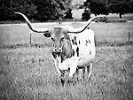 Here is a black and white version of this longhorn bull that kept a careful eye on me as I stopped my car to photograph him!