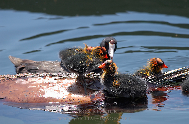 American Coot and Babies, Echo Park, Los Angeles, California
