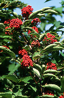 Trauben-Holunder, Traubenholunder, Berg-Holunder, Bergholunder, Roter Holunder, Früchte, Sambucus racemosa, Red Berried Elder, Red Elderberry