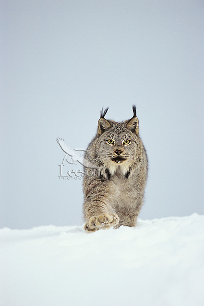 Canadian Lynx (Lynx canadensis) walking through deep powder snow in late evening.  Notice the large size of its paws that act like snowshoes.