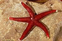 EC02-001x  Starfish - red starfish - Henricia spp.