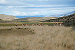 Herd of Guanacos in the Foothills of Torres del Paine National Park in Patagonia Chile