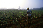 A tobacco farmer surveys his fields.