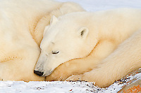 01874-13110 Polar Bears (Ursus maritimus) cub sleeping next to mother Churchill Wildlife Management Area, Churchill, MB