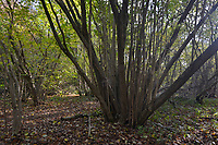 Coppiced Hazel, Stoke Wood, Oxfordshire.