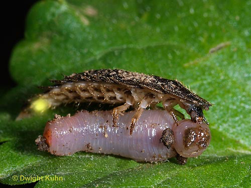 1C24-877p  Firefly larva eating worm -  Lightning Bug - several month old larva glowing - Glowworm - Photuris spp.