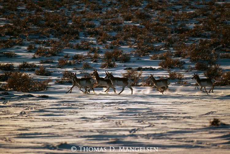A group of pronghorn antelope running through brush.