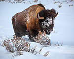 Yellowstone National Park, WY: American Bison (Bison bison) in winter