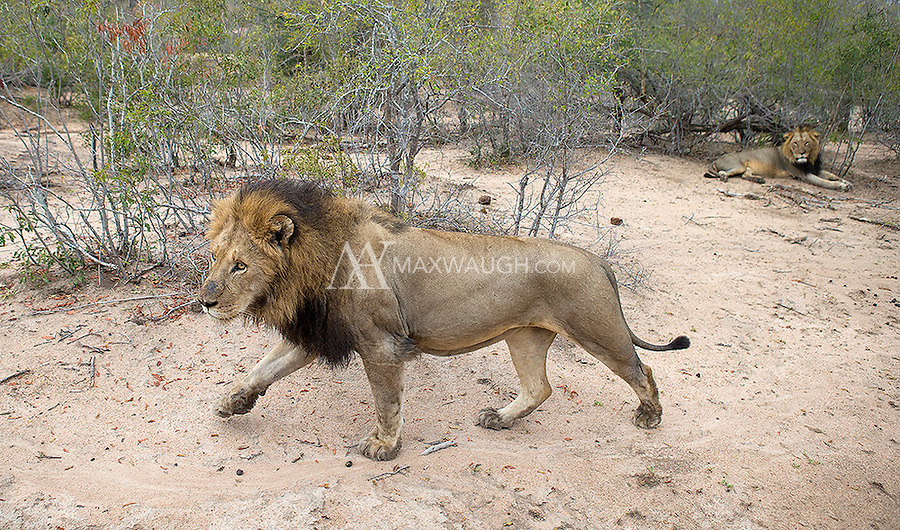 We had a couple of nice encounters with male lions at MalaMala, including this pair of brothers.