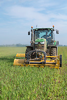 Mowing a winter cover crop of oats ready for ploughing & planting salads - Lincolnshire, May