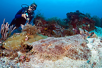 Divemaster Kerri Bingham observes a Tassled Wobbegong Shark, Eucrossorhinus dasypogon, resting on the sea floor. While it appears to be relaxing, the Wobbegong is probably waiting for an unsuspecting fish to swim within range to become its next meal. Raja Ampat, West Papua / Irian Jaya, Indonesia, Pacific Ocean