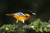 Baltimore Oriole, Icterus galbula, male perched on Tree fern, Central Valley, Costa Rica, Central America, December 2006