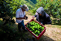 A Colombian farm worker carries a crate of avocados during a harvest at a plantation near Sonsón, Antioquia department, Colombia, 21 November 2019. Over the past decade, the Colombian avocado industry has experienced massive growth, both as a result of general economic development in Colombia, and the increased global demand for so-called superfood products. The geographical and climate conditions in Antioquia (high altitude, no seasonal extremes, high precipitation rate) allow two harvest windows of the Hass avocado variety across the year. Although the majority of the Colombian avocado exports are destined towards Europe now, Colombia aspires to become one of the major avocado suppliers to the U.S. market in the near future.