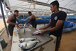 Palestinian men work at a fish farm, in Gaza city, on Sept. 14, 2017. Photo by Mohammed Asad