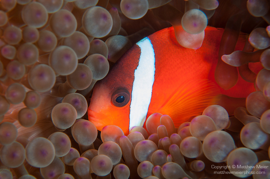 Taveuni, Fiji; a Tomato Clownfish swimming in it's bubble-tip anemone