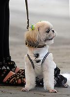 A miniature terrier at the Osaka Pet Expo fashion show, Osaka, Japan.<br /> 24-Sep-11, Japan.<br /> <br /> Photo by Richard Jones