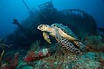 Hawksbill Sea Turtle, Eretmochelys imbricata, swims past an artifiical reef in Palm Beach County, FL.