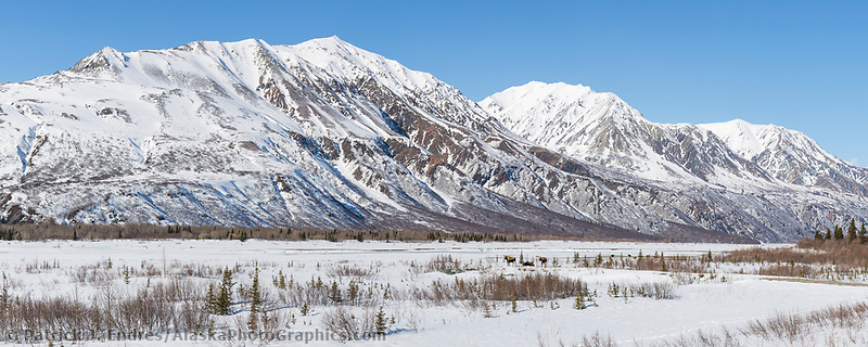 Cow moose and two calves in the snow covered mountains of the Alaska Range, in Alaska's interior.