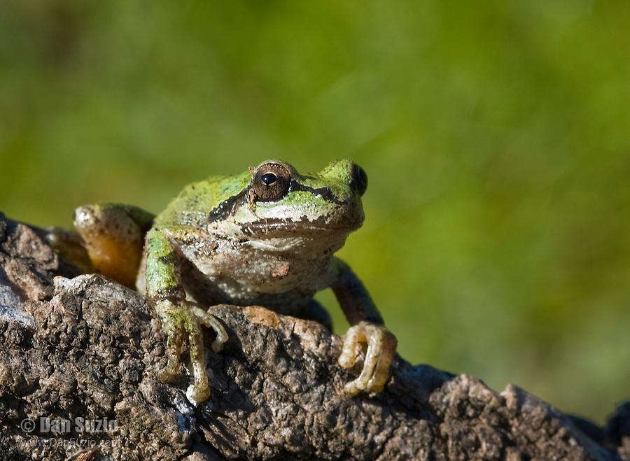 Pacific treefrog (Pacific chorus frog), Hyla regilla (Pseudacris regilla). Mount Diablo State Park, California