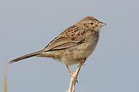Adult Cassin's Sparrow (Aimophila cassinii). Cimarron National Grassland, Kansas. April.