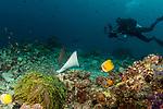Spotted eagle ray and diver, Maldives, Aetobatus narinari