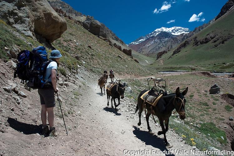 Muldyr på vei ut fra Aconcagua base camp. ---- Mules on the way out from Aconcagua base camp.