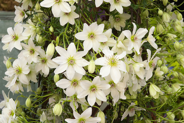 Clematis early sensation white plant flower stock photography clematis early sensation white flowering climbing vine with masses of blooms mightylinksfo