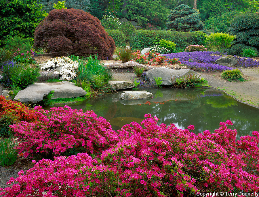 Seattle, WA<br /> Kubota Garden city park, flowering azalea and ajuga with pond reflections