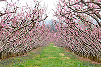 Peach blossoms at Chile Orchard in Crozet, Va. Credit Image: © Andrew Shurtleff