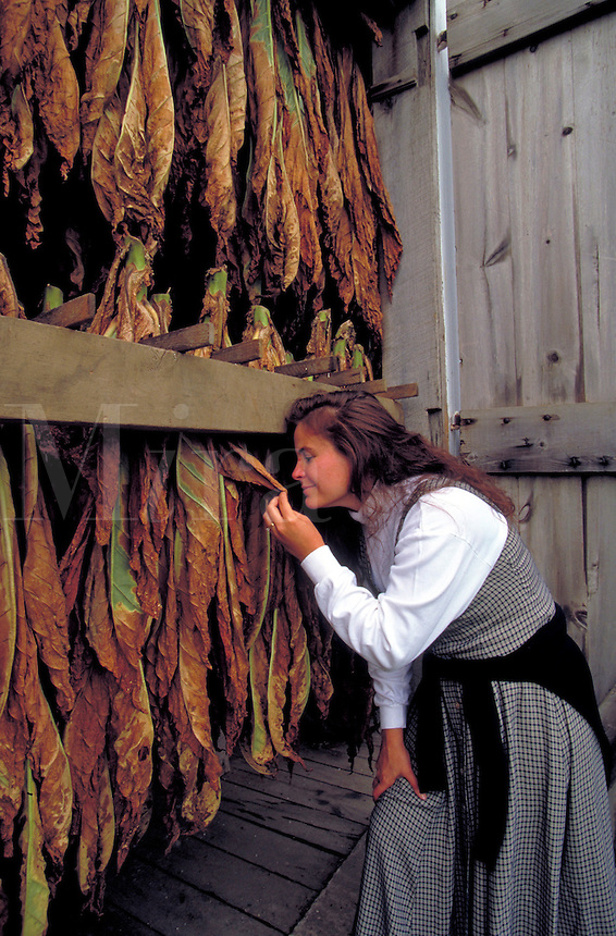 Drying tobacco in a barn. Woman. Strasburg Pennsylvania USA Lancaster County.