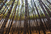 Canopy of red pine forest in Franconia, New Hampshire USA