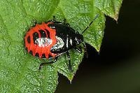Bläuling, Blaugrüne Baumwanze, Nymphe, Larve, Zicrona caerulea, Zicrona coerulea, Blue Bug, Blue Shield Bug