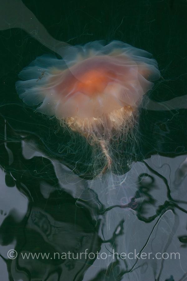 Feuerqualle, Feuer-Qualle, Gelbe Haarqualle, Haar-Qualle, Qualle, Cyanea capillata, lion's mane, giant jellyfish, hairy stinger, sea blubber, sea nettle, pink jellyfish