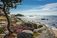 Träd och blommande  ljung på klippa vid havet på Sanhamn Stockholms skärgård Östersjön