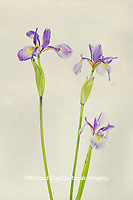 30099-00509 Blue Flag Irises (Iris versicolor) Digital Composite Marion Co. IL