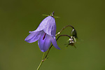 Harebell flower, Campanula rotundifolia, Queensdown Warren, Kent Wildlife Trust, UK,