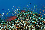Coral groupers (Cephalopholis miniata) in the reef with fairy basslets