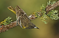 561970009 a wild juvenile male scott's oriole icterus parisorum perches on a douglas fir tee limb in madera canyon green valley arizona united states
