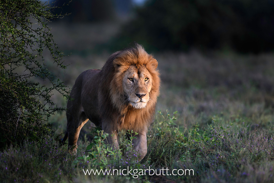 Male lion (Panthera leo) patrolling territory boundary. Woodland on the border of Serengeti / Ngorongoro Conservation Area (NCA) near Ndutu, Tanzania.