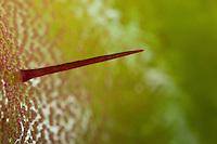 Venusfliegenfalle, Venus-Fliegenfalle, Fühlborsten auf der Innenseite des Fangblattes, Fleischfressende Pflanze, Karnivore, Insektivore, Dionaea muscipula, Zuchtform, Venus Flytrap, Venus's Flytrap, Venus' Flytrap, Venus Fly Trap, Venus's Fly Trap, Venus' Fly Trap, Fly-Trap