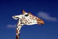 Portrait head of a giraffe.