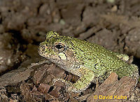 "0917-07vv  Gray Tree Frog - Hyla versicolor ""Virginia"" © David Kuhn/Dwight Kuhn Photography"